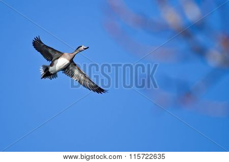 American Wigeon Flying In A Blue Sky