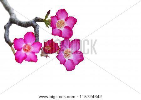 Impala Lily Or Desert Rose Isolate On White Background
