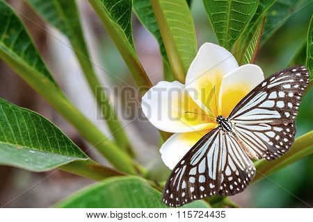 White And Yellow Plumeria