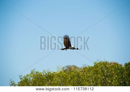 Eagle soaring and looking out for prey