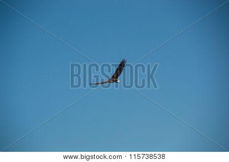 Grey Eagle soaring in sky