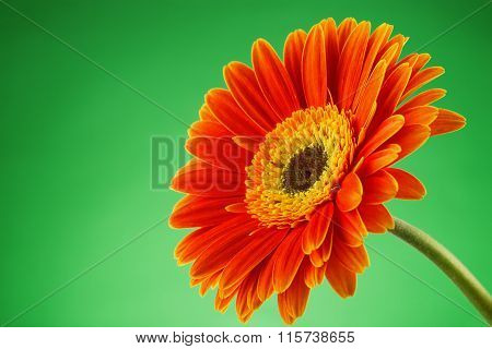 Gerbera Daisy Flower Isolated Over Green Background.