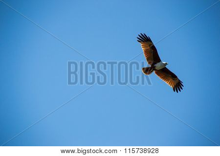 Majestic brown eagle soaring in sky