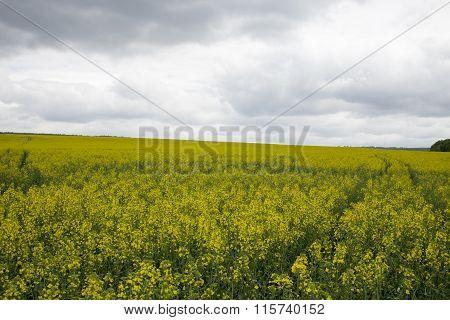 Rapeseed field.