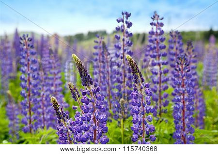 Violet Flowers A Lupine
