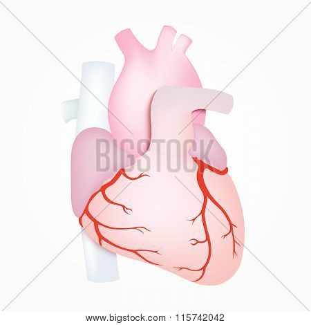 Human Heart Anatomy Isolated On White Background