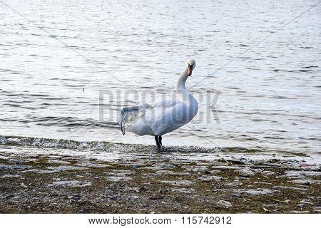 Broken Wing Swan
