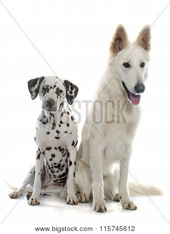 Swiss Shepherd And Dalmatian