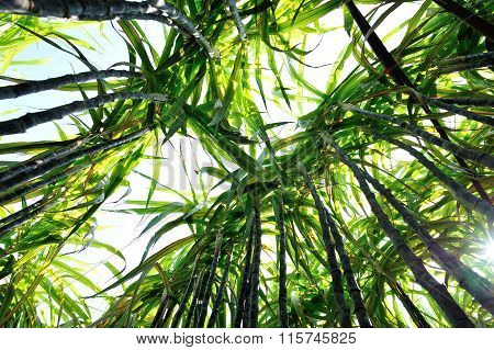 closeup of sugarcane crops in growth at field