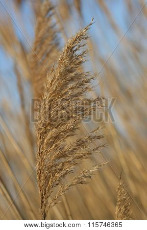 Reed Inflorescence Close-up. Shallow Depth Of Field