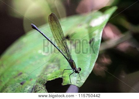 Dragonfly in Gunung Mulu National Park