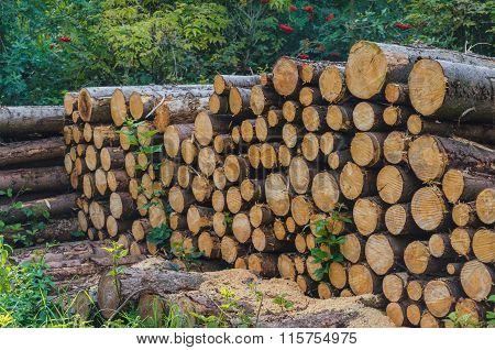 Woodpile In The Forest