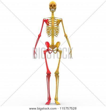 Human Skeleton Leg and Hand Joint