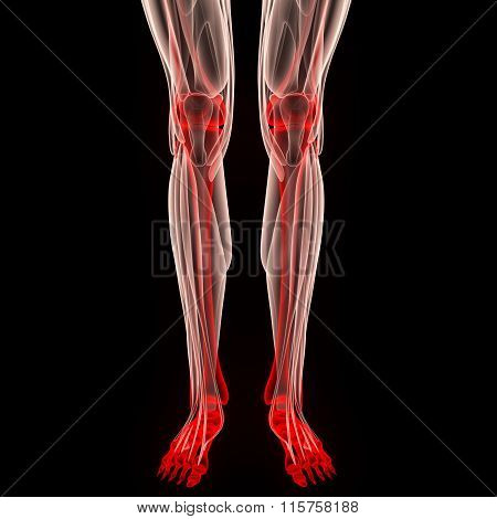 Human Leg Joints with Muscles