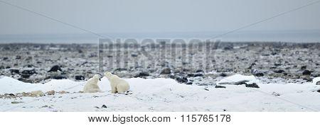 Fighting Polar Bears (ursus Maritimus ) On The Snow. Arctic Tundra.