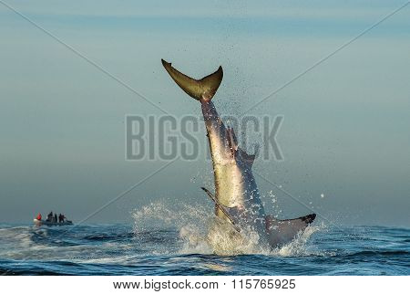 Jumping Great White Shark. Tail Of The Jumped-out White Shark (carcharodon Carcharias)