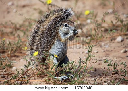 Ground Squirrel In Kgalagadi Transfrontier Park