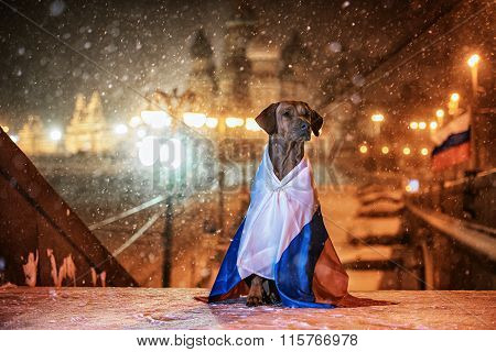 Dog Rhodesian Ridgeback and a Russian flag