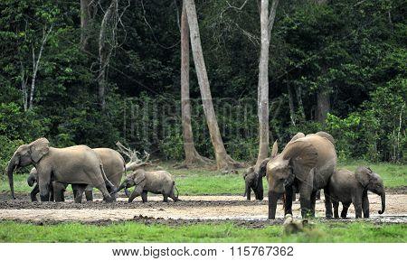 Forest Elephant (loxodonta Africana Cyclotis)