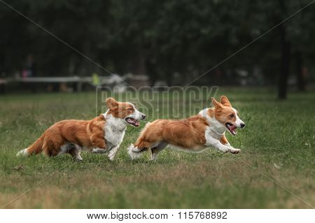 Two pembroke welsh corgi puppies running