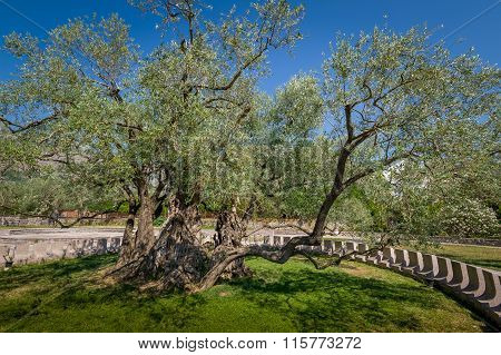 Two thousand years old olive tree