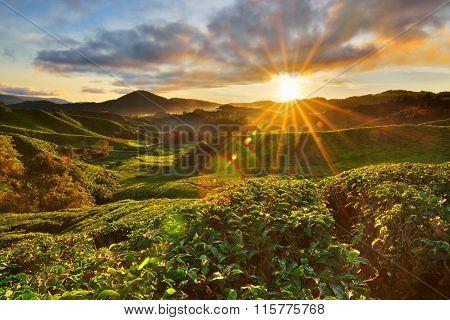 Amazing Sunrise View At Tea Plantation At Cameron Highlands, Malaysia
