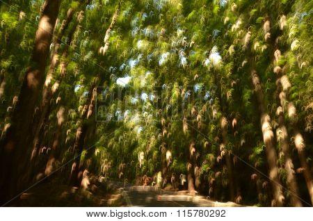 man made Forest, Panglao Island, Bohol