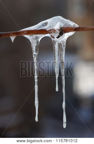 Icicle On Tree Branch