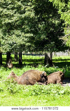 bisons, Bialowieski national park, Podlaskie Voivodeship, Poland