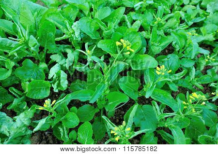 Green flowering chinese cabbage in growth at vegetable garden