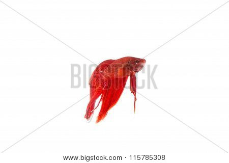 Red Betta Fish, Siamese Fighting Fish Isolated On White Background
