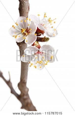Spring Blossom On Cherry Twig