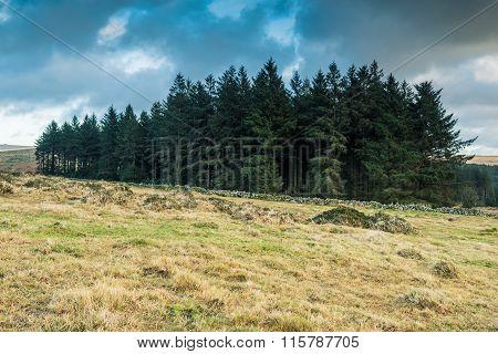 Wild Forest In Dartmoor Park, Uk