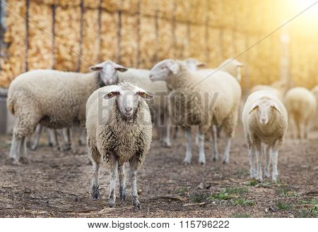 Sheep Flock On The Farm