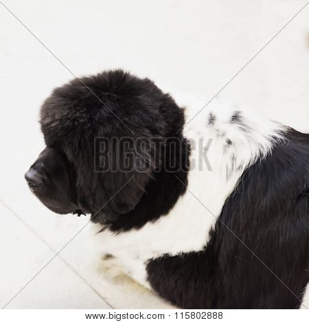 Big Shepard Dog