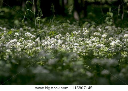 Wild Garlic Flowers In The Old Forest
