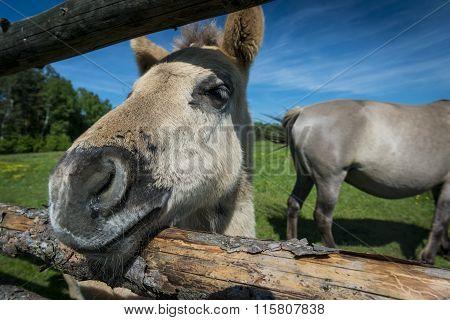 The Konik A Wild Horses Breeding In Poland