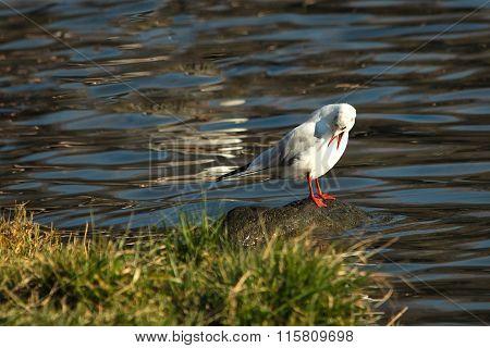 Seagull On The Rock Twith Open Beak