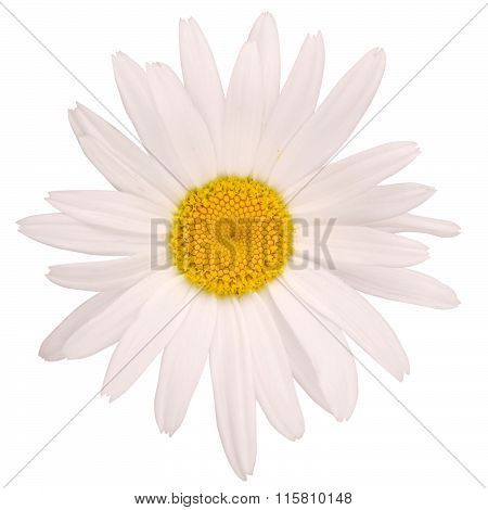 One Chamomile Flower (clipping Path)