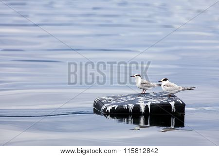 Two Wild Tern on Floating Boat Seat