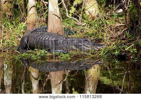 Alligator Having Rest In A River