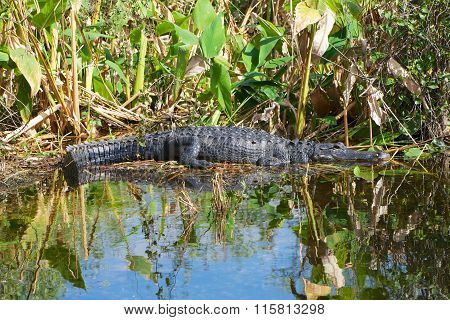 Alligator Having A Sunbath At Everglades