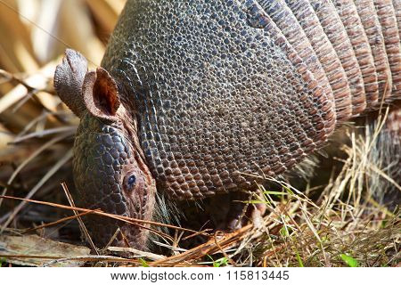 Armadillo Close-up Everglades National Park