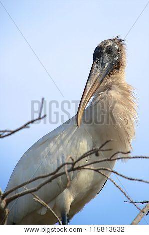 Beautiful Wood Stork At Everglades