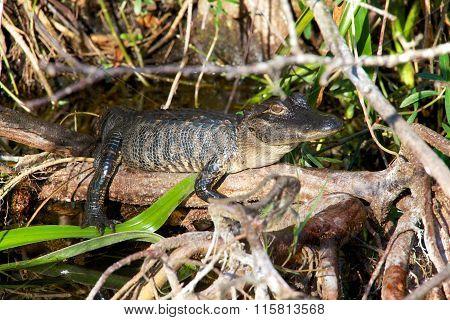 Baby Alligator Having Rest In Everglades