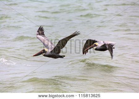 Couple Of Pelicans Flying