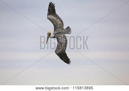 Pelican Flying In Florida