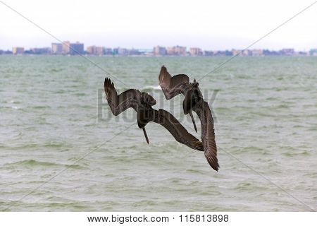 Pelicans Fishing Together In Florida
