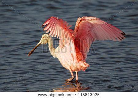 Roseate Spoonbill Landing Everglades