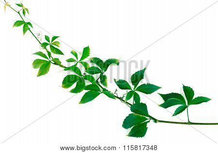 Green Twig Of Grapes Leaves